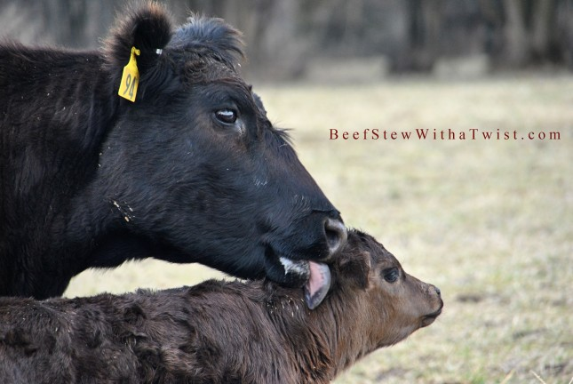 Cow licking calf